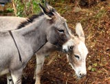 Dr. Kristen Walsh's donkeys, Greta and Shelby were spooked during a recent storm, broke through their enclosure but were found the following afternoon with the help of Mendham Twp. police