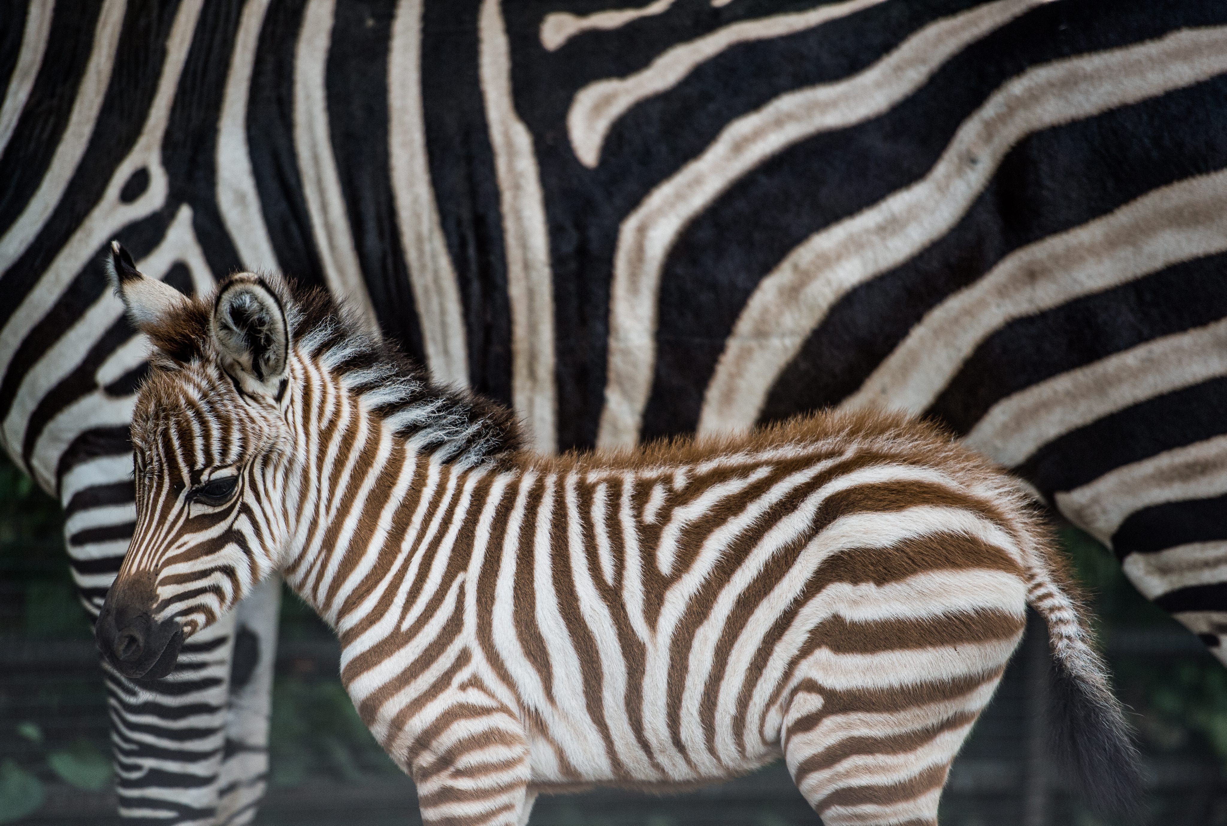 Did this zoo paint a donkey to look like a zebra?