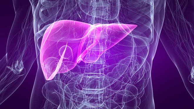 Graphic of liver placement in a human body.
