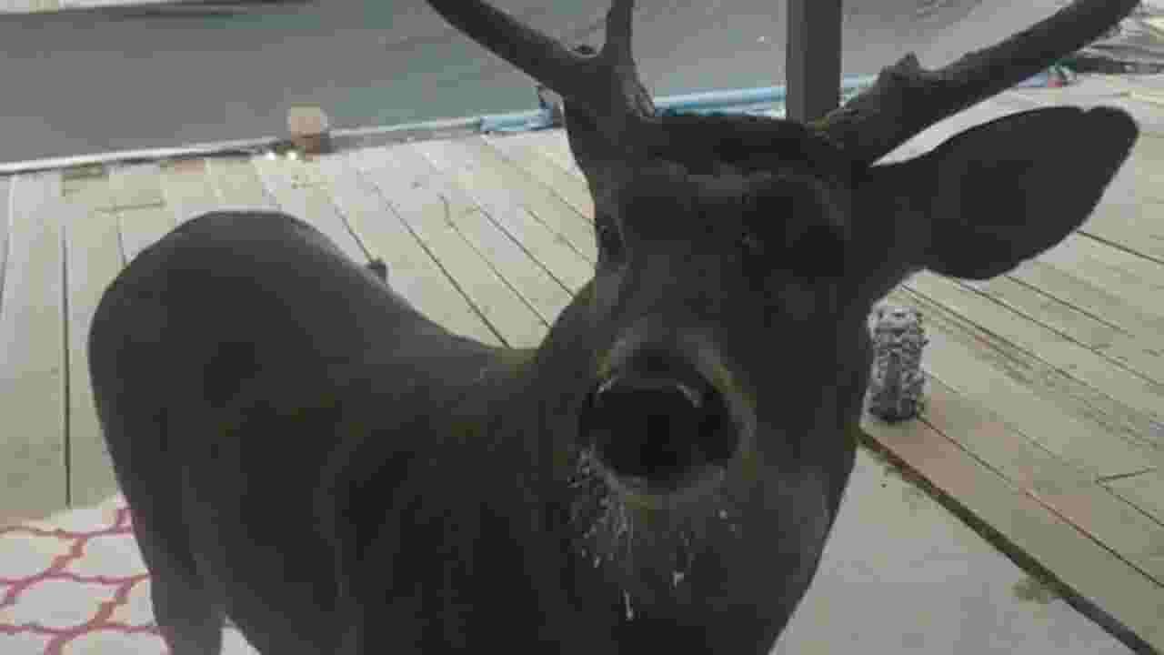 deer won t stop knocking on guy s door