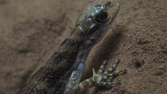 Watching this lizard breathe underwater is strangely mesmerizing.