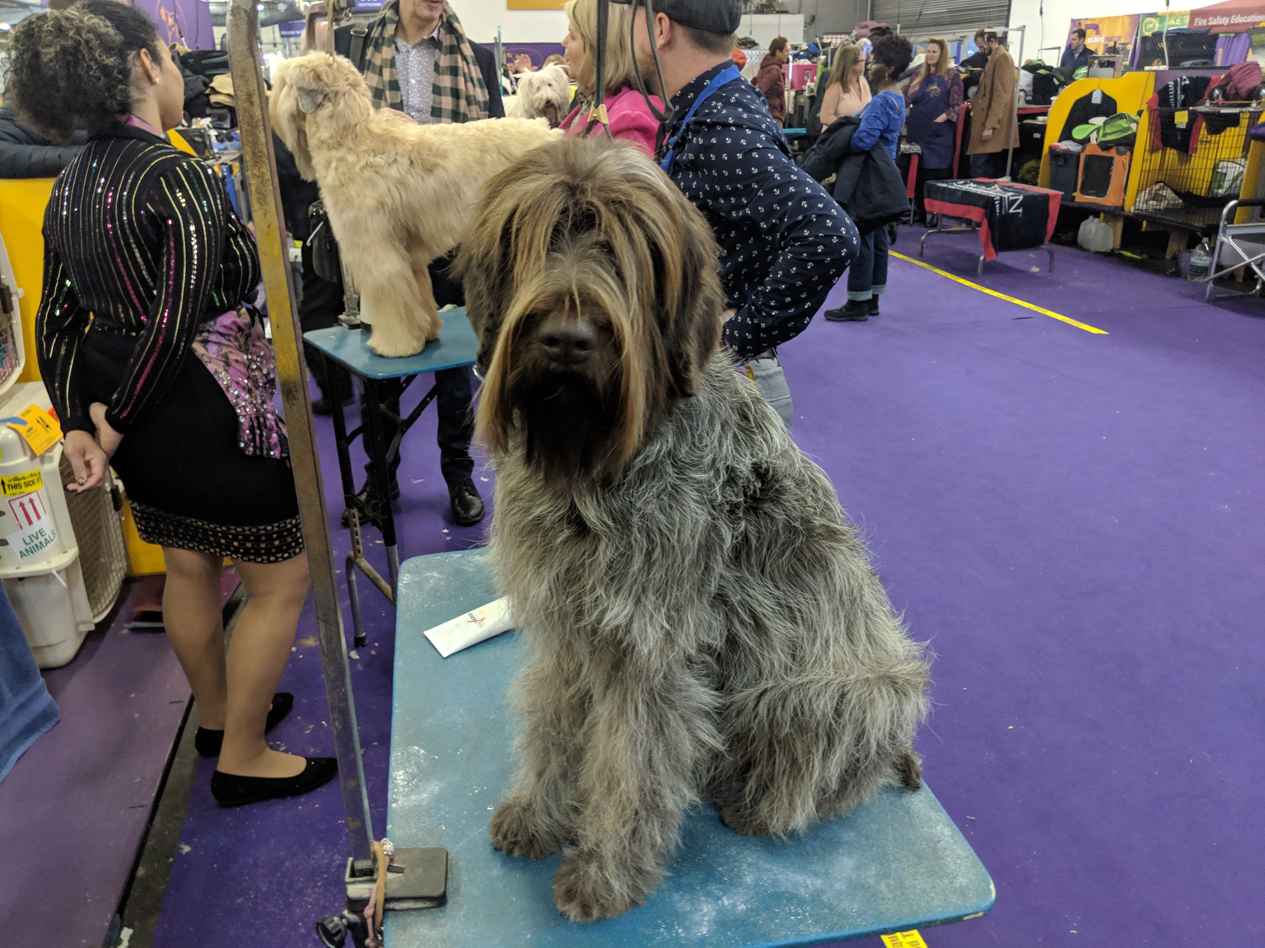 Westminster Kennel Club Dog Show: Do elite show dogs even know that they're champions?
