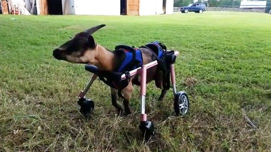 Fearless goat fights to walk again