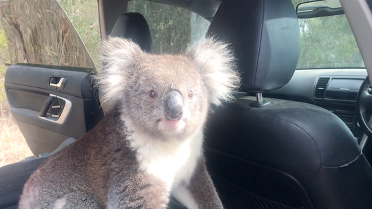 'Feisty' koala decides to cool off inside Australian man's car with dog