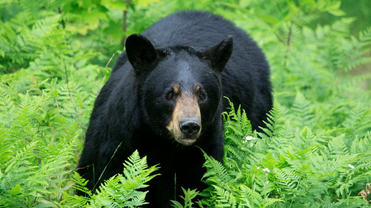 Woman calls police after mistaking her son's taxidermy for a real bear