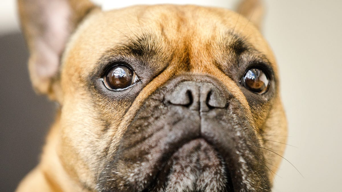 Dogs developed muscles to make 'puppy dog eyes' at humans
