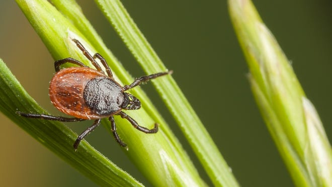 Lyme Disease is spread through an infected tick that can be unnoticed.