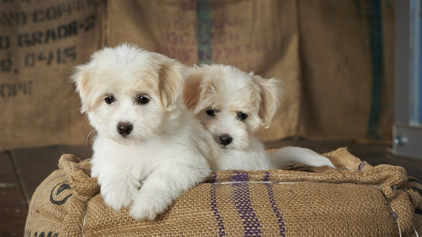The 30 Most Popular Small Dog Breeds In America