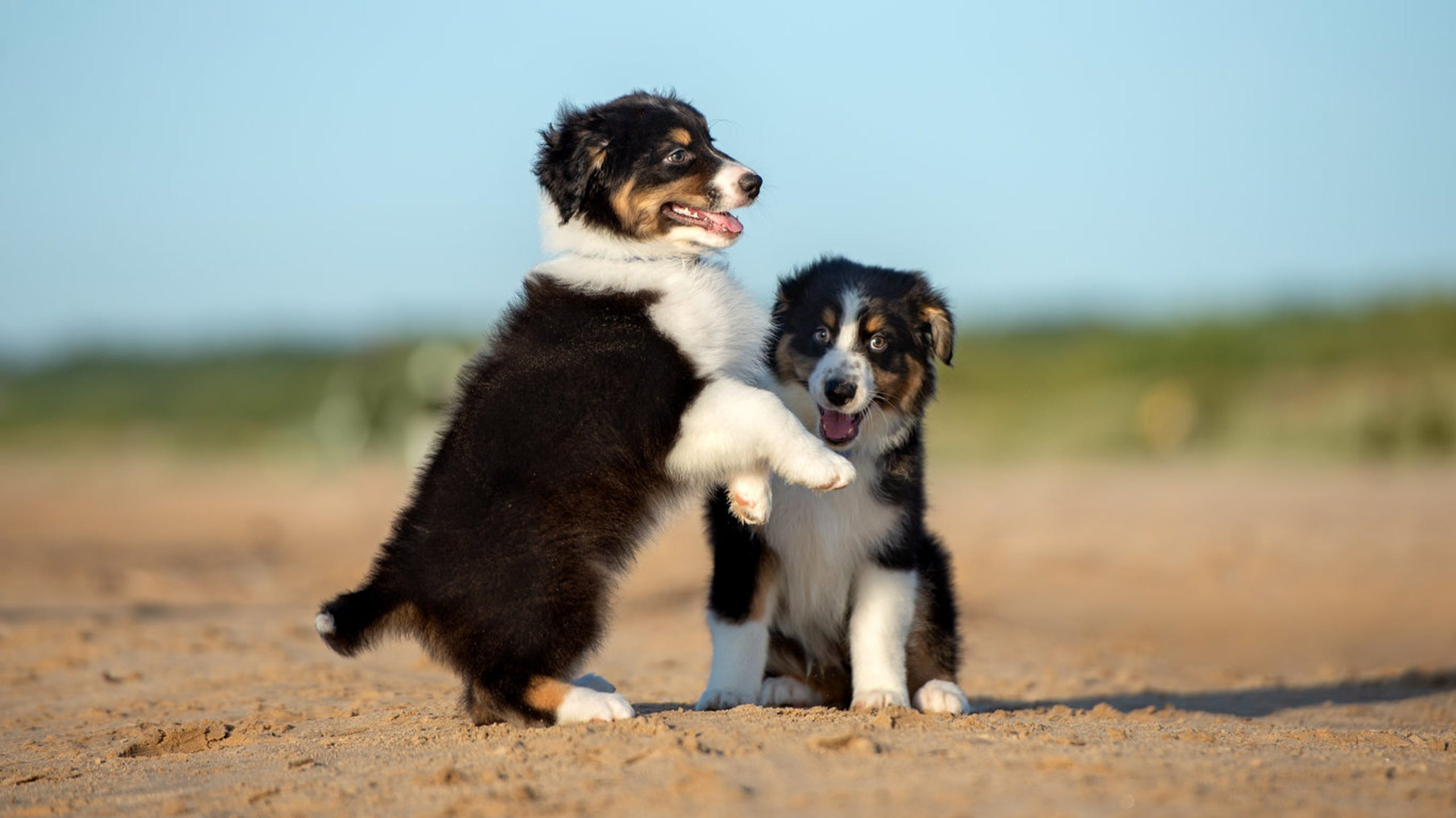 Most Por Small Dog Breeds In America