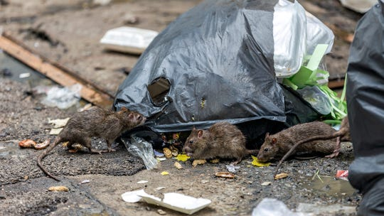 Rats feast on some trash in New Orleans.