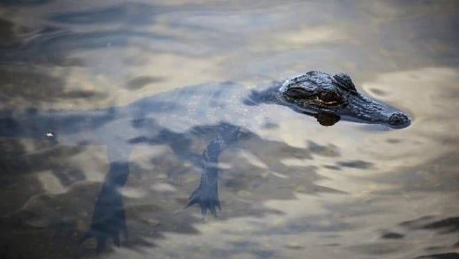 A small alligator at Grassy Waters Preserve. (BRUCE R. BENNET/ palmbeachpost.com]