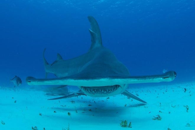 The hammerhead sharks in the drone videos that show them chasing blacktips were at least twice the size of the blacktip sharks, making them about 12 feet long. They can get as big as 18 feet long. Despite their large size, they are often found in relatively shallow waters that are likely an important area for their feeding.
