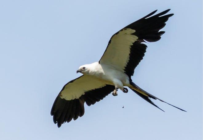 A Swallow-tailed Kite.