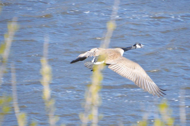 A Canada goose glides above the surface of a body of water in Story County.