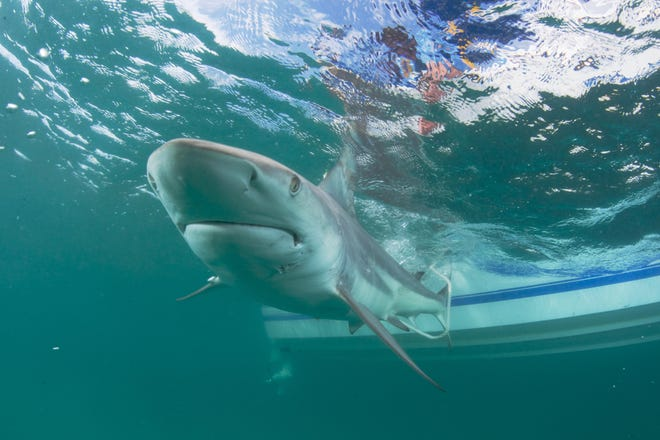 A blacktip shark moves through the water off the coast of South Florida. Stephen Kajiura, a researcher and professor at Florida Atlantic University's department of biological sciences and director of its elasmobranch research laboratory, studies the sharks' annual migration, using a boat, a plane and drones to capture images of the sharks while they're in South Florida during the winter.