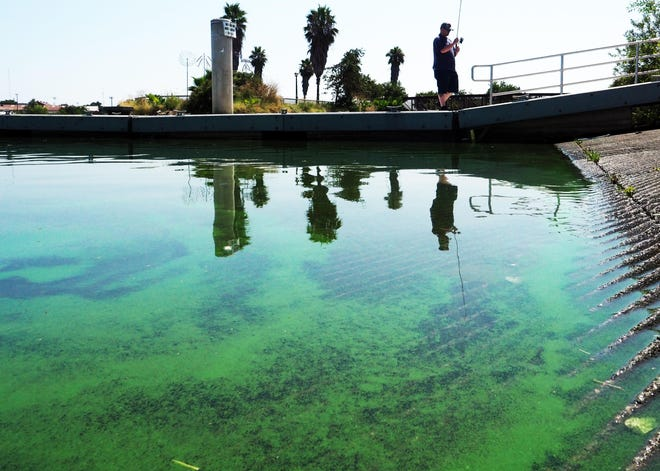 Algae blooms turn the waterway green near the two boating ramps at Morelli Park Boat Launch in Stockton on Friday. Recent tests revealed high levels of a toxin called microcystins in scum samples from the launch, Mormon Slough and the downtown marina that ranged from four to more than 20 times the state's Tier 3 danger threshold.
