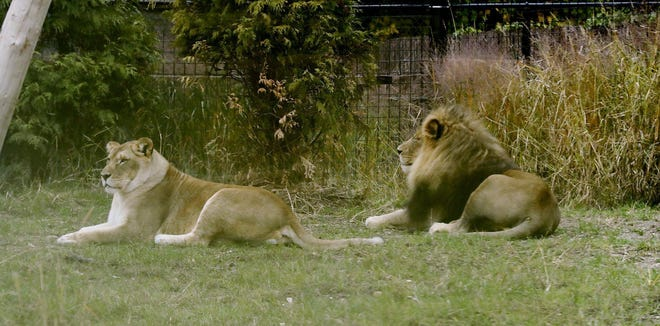 Lions lounge in their Pride of Africa exhibit space at the Akron Zoo Tuesday, Oct. 29, 2019 in Akron, Ohio.
