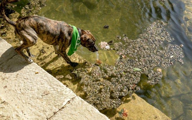 A dog on Red Bud Isle steps into Lady Bird Lake next to potentially toxic algae on Aug. 6, 2019.