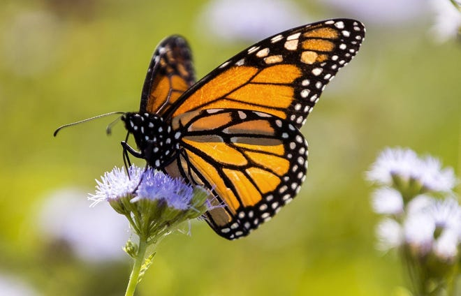 A Monarch butterfly feeds on a Gregg's mistflower at the Ladybird Johnson Wildflower Center in October. Monarchs were stopping at the garden to eat nectar from the fall blooming plants on their annual migration from Canada to Mexico.