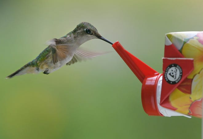 A hummingbird sips nectar from a feeder last summer. According to the Massachusetts Audubon Society, the ruby-throated hummingbird is the smallest breeding bird found in the state.