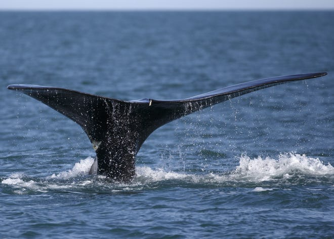 A North Atlantic right whale breaches in Cape Cod Bay in 2018. Boat collisions and fishing line entanglements are the leading causes of injury and death forendangered right whales.