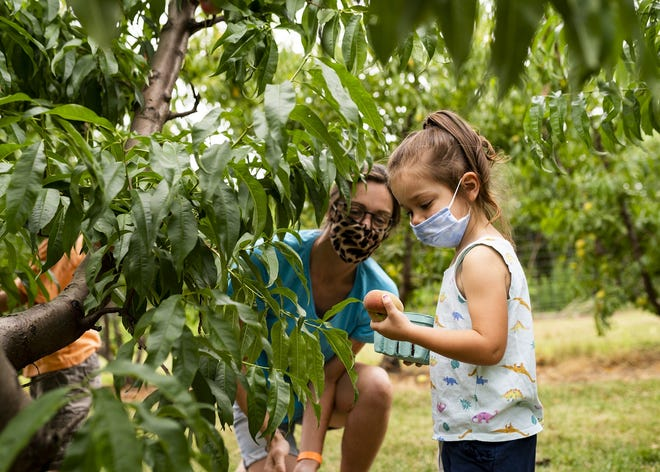 Shannon Gratton and daughter Andreina, 3, pick peaches at Tougas Family Farm in Northborough on Friday.