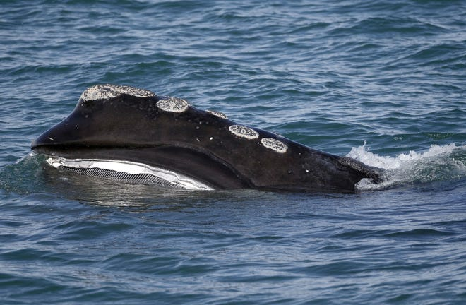 A North Atlantic right whale feeds on the surface of Cape Cod Bay off Plymouth. Three conservation groups petitioned the National Marine Fisheries Service to close fishing areas to lobster and gillnet fishing to protect the endangered right whale.