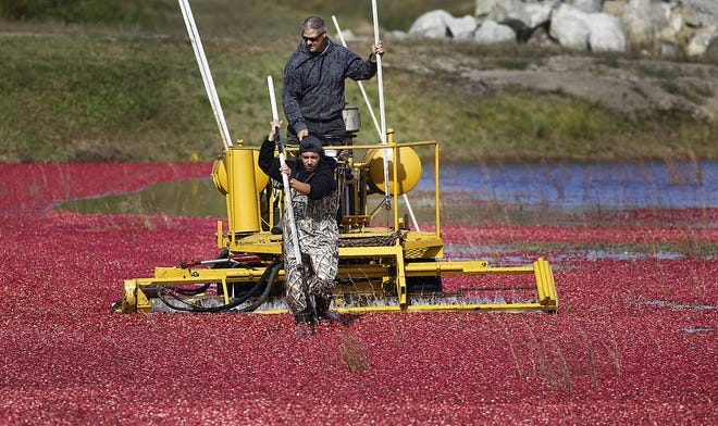 A worker runs a beater over a flooded bog to float the cranberries to the surface at the Federal Furnace Cranberry Co. in Carver on Monday, Sept. 21, 2020.
