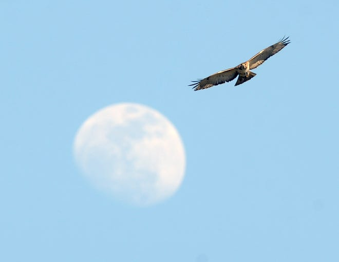 A hawk lines up with the three-quarter moon as it hunts for food over the Barnstable High School athletic fields April 3, 2012.