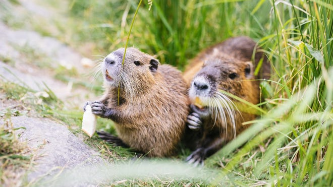 The nutria is considered an invasive species, destroying crops and levees in Louisiana.