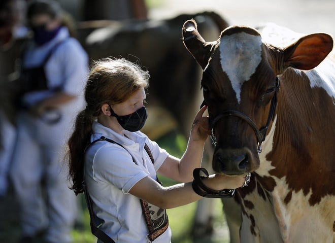 Stephenie Headings, 10, checks over her Ayrshire heifer named Bourbon before showing her at the Union County Fair in Marysville Wednesday. Stephenie, along with her three sisters Madeline, Julie and Christy, were presenting the heifer.