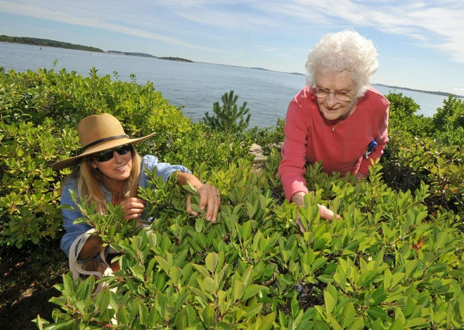 Sandy Creps, left, helps her Houghs Neck, Quincy neighbor, Lois Murphy, pick beach plums in Nut Island State Park in Quincy on Friday, Aug. 28, 2020.