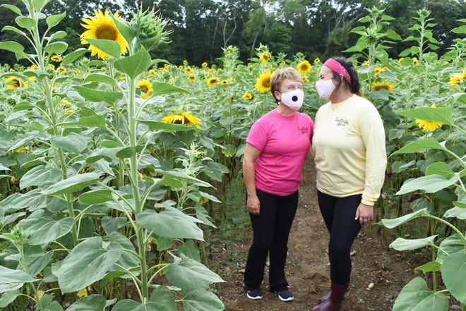 Simcock Farm owner Beverly Simcock, left, and employee Kaitlyn Kopecky stand among the sunflowers in the 2020 walkway at the Swansea farm.