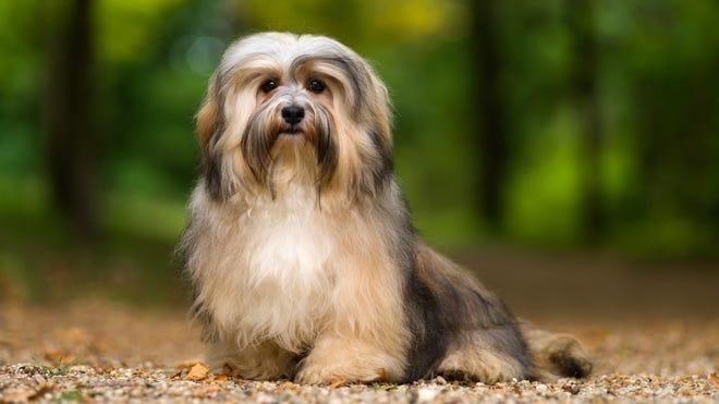 Havanese are small dogs originally bred in Cuba.
