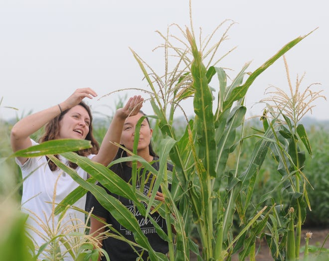 Aubrey Streit-Krug, left, director of ecospheric studies for the Land Institute, and Abbi Han, a research resident, check quality of growth of the indigenous corn at a test plot outside Salina.