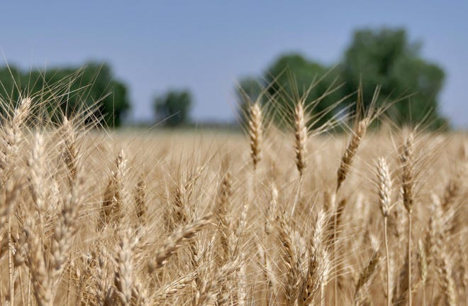 A wheat field in Reno County.