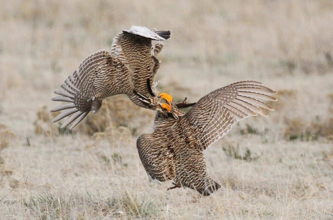 A pair of lesser prairie chicken males show off their colorful plumage and vie for attention from females as they fight during the spring mating ritual at a ranch in Scott City.