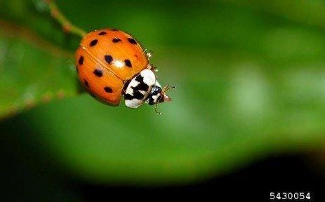 Asian lady beetles were introduced from Asia by the USDA in the 1970s because they are voracious eaters of bad insects. They seemed to disappear for several years, and then about 10-15 years ago, the population exploded.