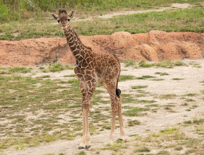 A not-yet-named 6-week-old Masai giraffe calf makes his public debut at the Columbus Zoo & Aquarium on Friday. The calf is the son of 10-year-old giraffes Zuri and Enzi, who in 2018 lost a calf -- one of two calves to die at the zoo in a span of three weeks.