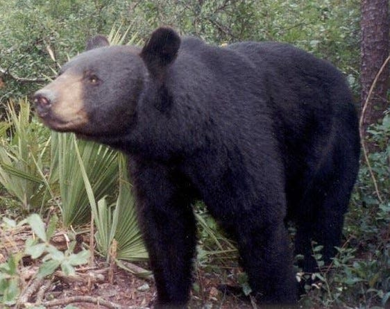 Florida black bear, Ocala National Forest.