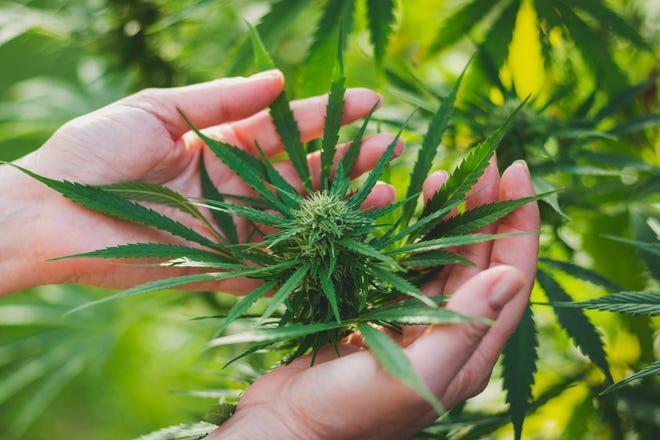 Marijuana plant in hands.