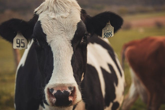 Researchers at Virginia Tech have found that dairy cattle have a minimal contribution to the amount of greenhouse gases present in the United States.