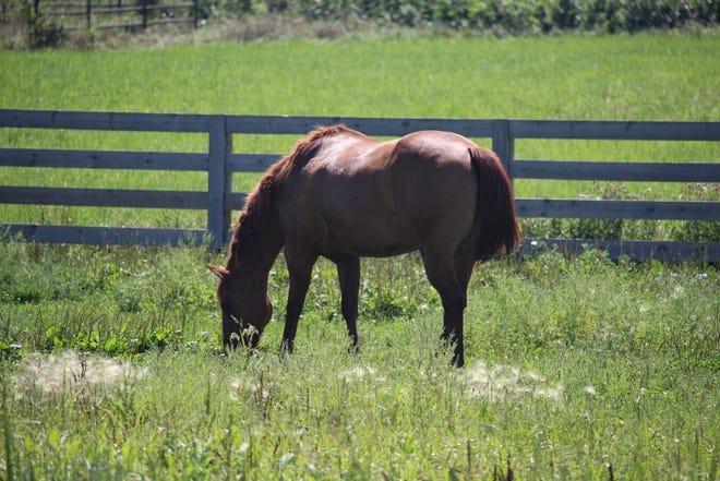 A horse grazes in a pasture.