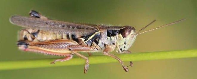 An adult red-legged grasshopper.Photo courtesy of Adam Varenhorst