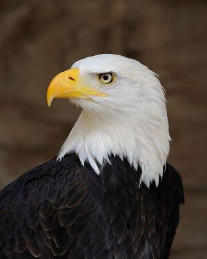 A bald eagle is shown.