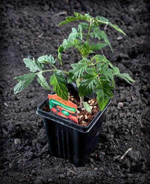 Tomato plants require both warm soil and warm air temperatures for rapid growth.