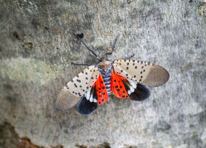A spotted lanternfly is seen in Chester County, Pa.