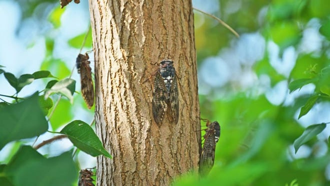 Many states are bracing for the Brood X cicadas to arrive this spring.