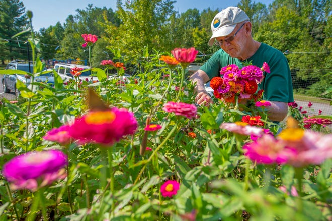 Mike Short cuts flowers in his plot at the Willie Streeter Community Gardens Wednesday on Bloomington's south side. Short — the former athletic director at Bedford North Lawrence High School — and his wife pay about $40 a year to rent the plot space, which is one of dozens at the garden available to the public. (Rich Janzaruk / Herald-Times)