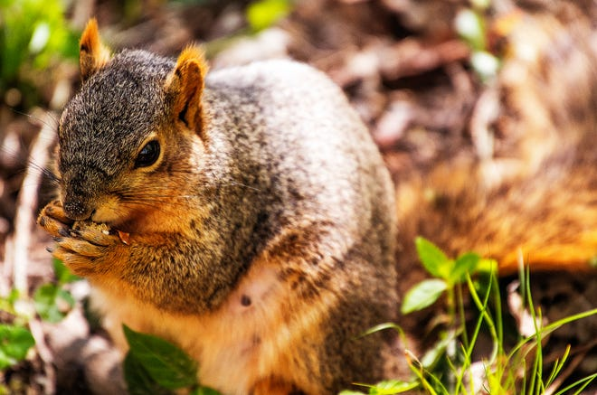 A squirrel eats a snack Wednesday on Indiana University's campus on Earth Day. The campus is known for its friendly squirrel population that will come right up to you and ask for a bite to eat. (Rich Janzaruk / Herald-Times)